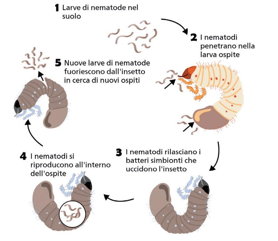 I nemadodi entomopatogeni - ciclo di vita